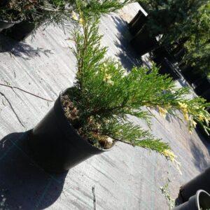 """Jałowiec sabiński """"Variegata"""" 20-30cm c2 (Juniperus sabina""""Variegata"""")"""