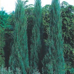"Jałowiec skalny ""Skyrocket"" 30-50 cm c2 (Juniperus scopulorum""Skyrocket"")"