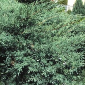 """Jałowiec wirginijski """"Grey Owl"""" 20-30cm c2 (Juniperus virigniana""""Grey Owl"""")"""
