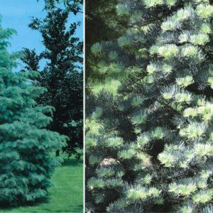 """Jodła kalifornijska """"Glauca"""" 35-45cm c2,5 (Abies concolor """"Glauca"""")"""