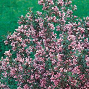 """Krzewuszka cudowna """"Purpurea Nana"""" 20-30cm c2,5 (""""Weigela florida """"Purpurea Nana"""")"""