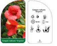 """Milin Amerykański """"Ursynów"""" 80-100cm c2 (Campsis radicans """"ursynów"""")"""
