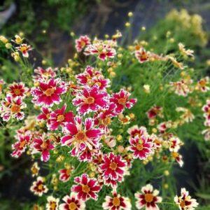 Nachyłek okółkowy odm. Różowa (białe obwódki) c2 20-30cm (Coreopsis)