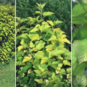 "Pęcherznica kalinolistna ""Luteus""20-30cm c2,5 (Physocarpus opulifolius ""Letus"")"