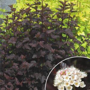 "Pęcherznica kalinolistna ""Red Baron"" 40-50cm c2,5 (Physocarpus opulifolius ""Red Baron"")"