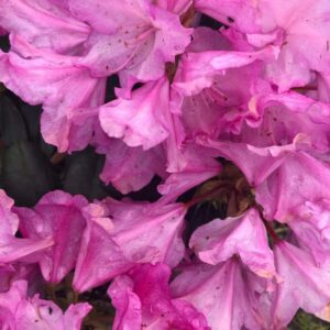 "Różanecznik ""Elite"" 20-30cm c2,5 (Rhododendron ""Elite"")"