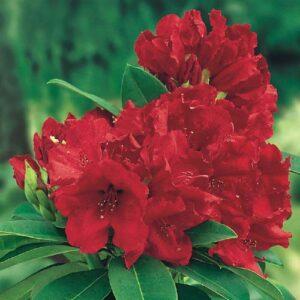 """Różanecznik """"Kali"""" 20-30cm c2,5 (Rhododendron """"Kali"""")"""