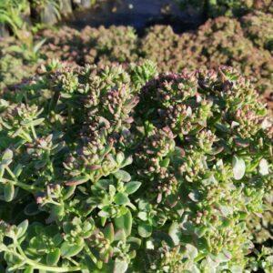 Rozchodnik Sinolistny (Sedum Glaucophyllum) c2 10-20cm