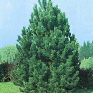 """Sosna czarna """"austryjacka"""" (Pinus nigra """"austriaca"""") c2 30-40cm"""