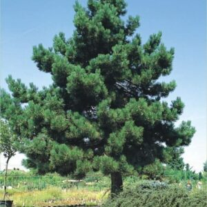 Sosna czarna (Pinus nigra) c2 30-40cm