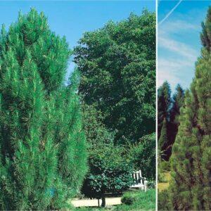 """Sosna czarna """"Pyramidalis"""" (Pinus nigra """"Pyramidalis"""") c2 30-40cm"""