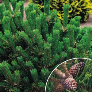 Sosna górska-Kosodrzewina 20-40cm c2/c3 (Pinus mugo var. mughus)