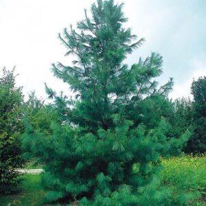 Sosna himalajska 20-40cm c2/c3 (Pinus wallichiana)