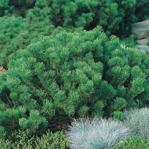 Sosna kosodrzewina odm. pumilio 20-40cm c2/c3 (Pinus mugo var. pumilio)