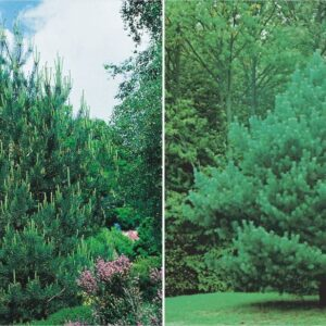 Sosna Pospolita 20-40cm c2/c3 (Pinus sylvestris)
