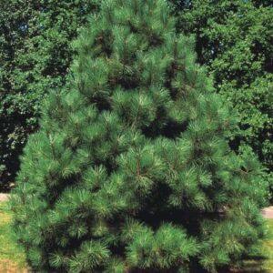 Sosna żółta 20-40cm c2/c3 (Pinus ponderosa)