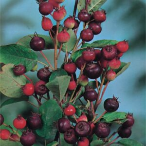"""Świdośliwa olcholistna """"Smoky"""" 30-40cm c2,5 (Amelanchier alnifolia """"Smoky"""")"""