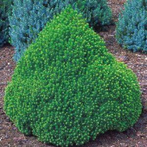 """Świerk Biały """"Alberta Globe"""" 20-40cm c2 (Picea Abies """"Nidiformis"""")"""