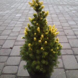 """Świerk biały """"Rainbow's End"""" (Picea glauca """"Rainbow's End) c2 30-40cm"""