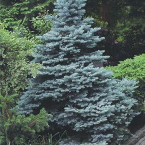 """Świerk Kłuący """"Glauca"""" 20-40cm c2 (Picea punges """"Glauca"""")"""