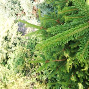 Świerk Pospolity 20-40cm c2 (Picea Abies)