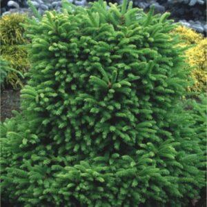 """Świerk Pospolity """"Barryi"""" (Picea Abies """"Barryi"""")"""