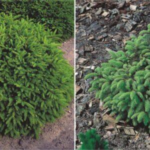 "Świerk Pospolity ""Nidiformis"" 20-40cm c2 (Picea Abies ""Nidiformis"")"