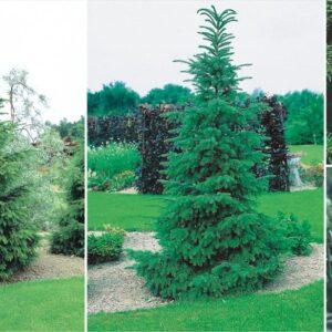 Świerk Serbski 20-40cm c2 (Picea omorica)