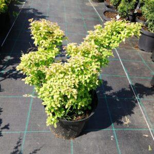 "Tawuła szara ""Gerlve's Rainbow"" 20-30cm c2 (Spiraea japonica ""Gerlve's Rainbow"")"