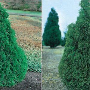 """Tuja zachodnia """"Holmstrup"""" 30-50cm c2/c2,5 (Thuja occidentalis """"Holmstrup"""")"""