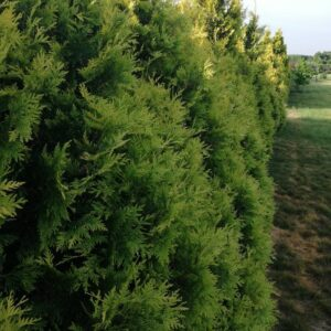 "Tuja zachodnia ""Salland"" 30-40cm c2 (Thuja occidentalis ""Holmstrup"")"