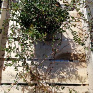 "Żurawina wielkoowocowa ""Howes"" 30-40cm c2 (Vaccinium macrocarpon ""Howes"")"