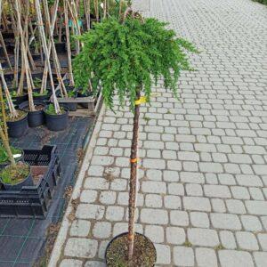 Jałowiec juniperus pospolity comunnis green mantle