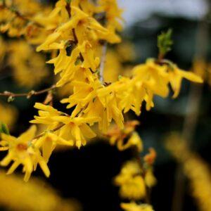 """Forsythia intermedia """"West End"""""""