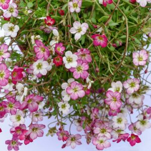 "Skalnica Arendsa""Alpino early pink"