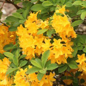 azalia Yellow Pom-pom