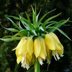 Szachownica cesarska żółta (fritillaria)