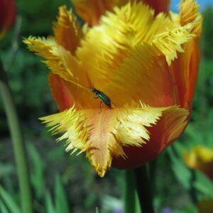 Tulipan lambada pomaranczowo zolty