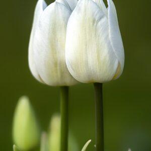 Tulipan white purissma biały cebulka