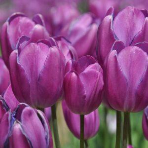 tulipan blue diamond fioletowy