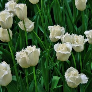 tulipan cambridge biały cebulka