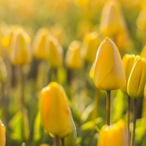 tulipan candela żółty