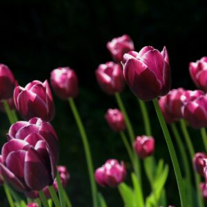 tulipan columbus fioletowy