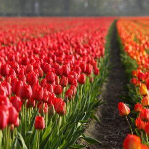 tulipan fiery club czerwony