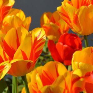 tulipan foxy frost