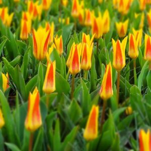 tulipan gluck zółty czerwony