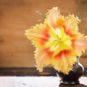 tulipan hamilton zólty cebulka postrzępiony