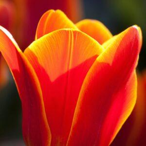 tulipan orange emperror pomarańczowy