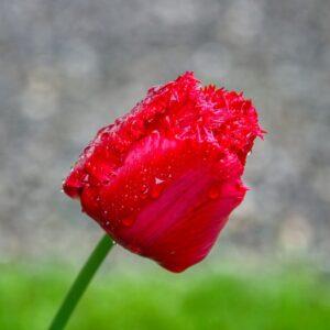 tulipan postrzępiony calibra czerwony cebulka