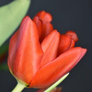 tulipan princeps czerwony